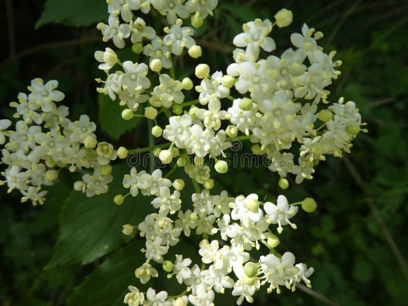 Biały okwitnięcie stary kwiat duży zdjęcie royalty free