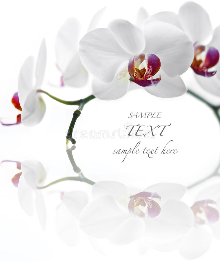 Biały Orchidea zdjęcia royalty free