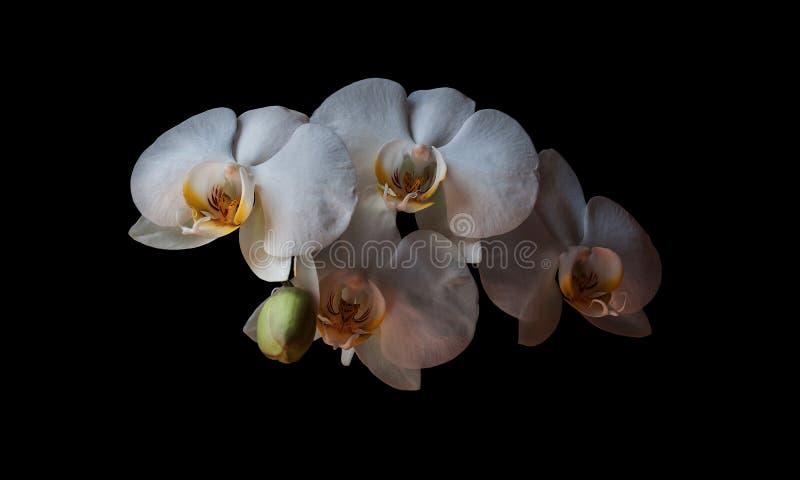 Biały orchidea portret fotografia royalty free