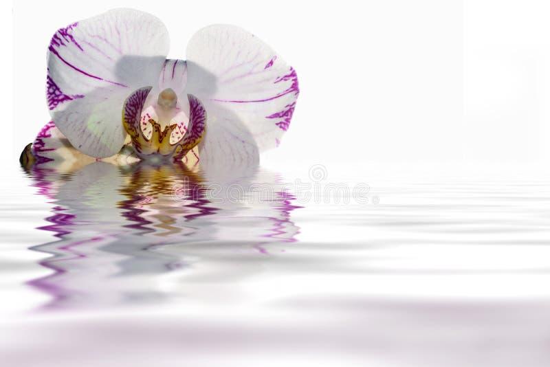 Biały orchidei wody odbicie zdjęcia royalty free