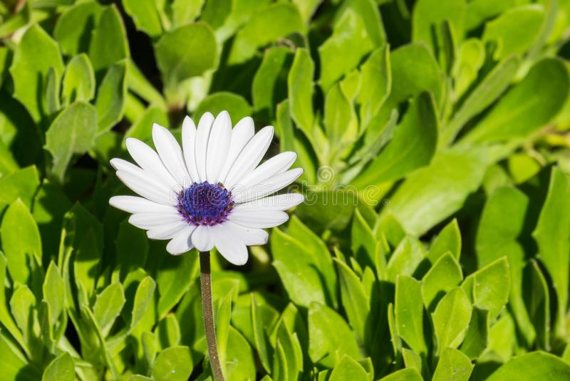 Biały Osteospermum Afrykańskiej stokrotki kwiat, Kalifornia zdjęcia stock