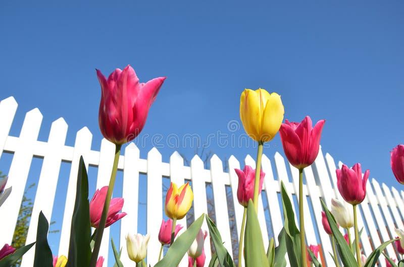biały płotowi tulipany obrazy royalty free