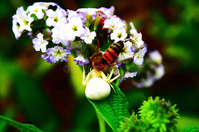 biały pająk na kwiat chwytającej pszczole fotografia stock