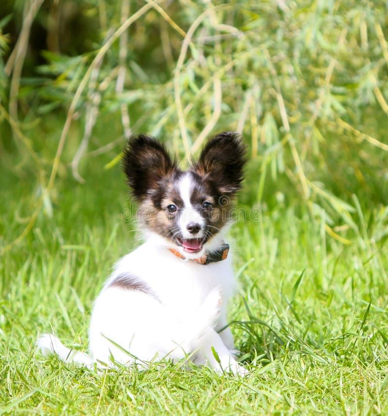 Biały Papillon z czerwonym kierowniczym obsiadaniem na tle zielona trawa Mały dekoracyjny szczeniak chodzi w naturze obraz royalty free