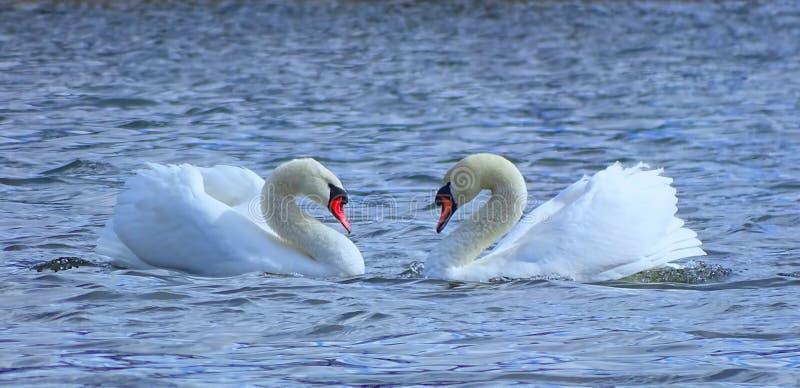 biały par łabędź obraz royalty free