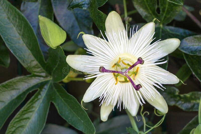 Biały pasyjny kwiat obraz stock