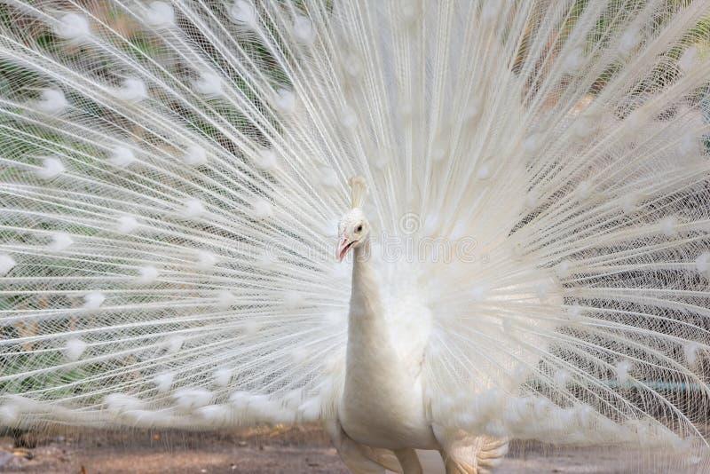 Biały paw z piórkami out zdjęcia royalty free