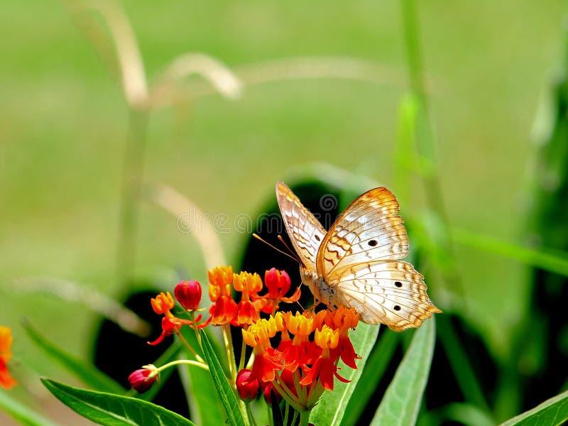 Biały pawi motyl, Floryda zdjęcie royalty free