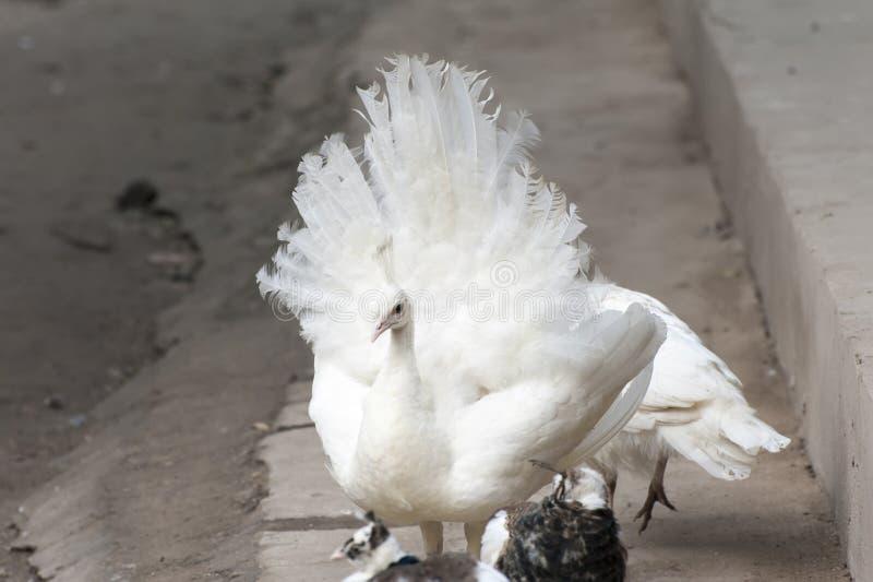 Biały pawi obnoszenie swój ogon fotografia royalty free