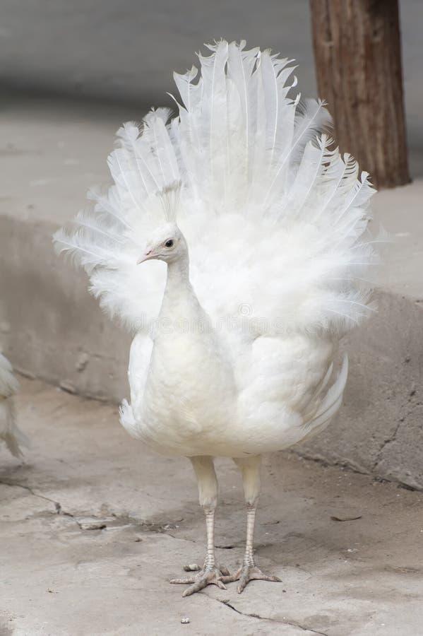 Biały pawi obnoszenie swój ogon obraz stock