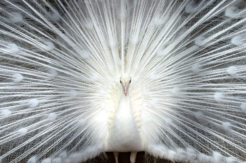 Biały pawi zakończenie zdjęcia royalty free