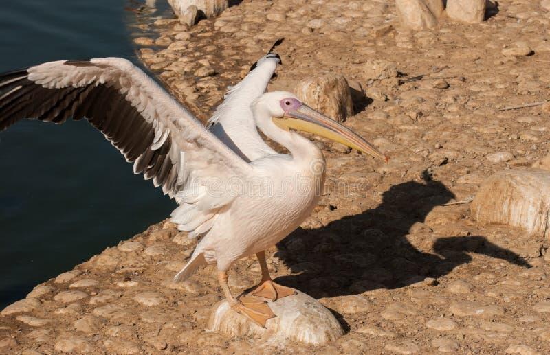 Biały pelikan zdjęcia royalty free