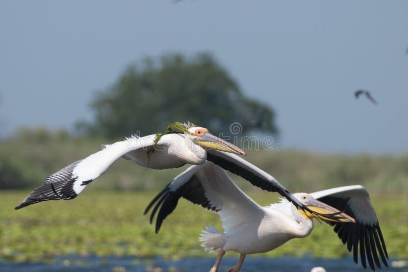 Biały pelikan obraz stock