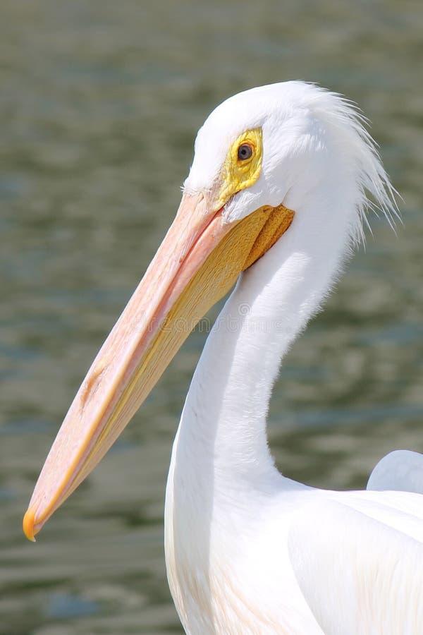 Biały pelikan obrazy royalty free
