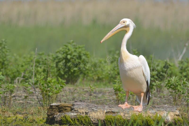 Biały pelikan na beli fotografia royalty free