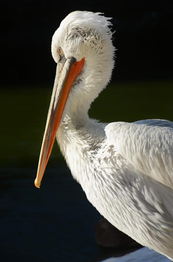 Biały pelikan w profilu obraz stock