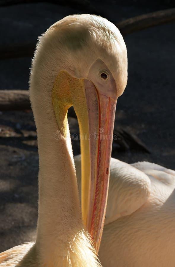 Biały pelikan w zoo zdjęcia royalty free