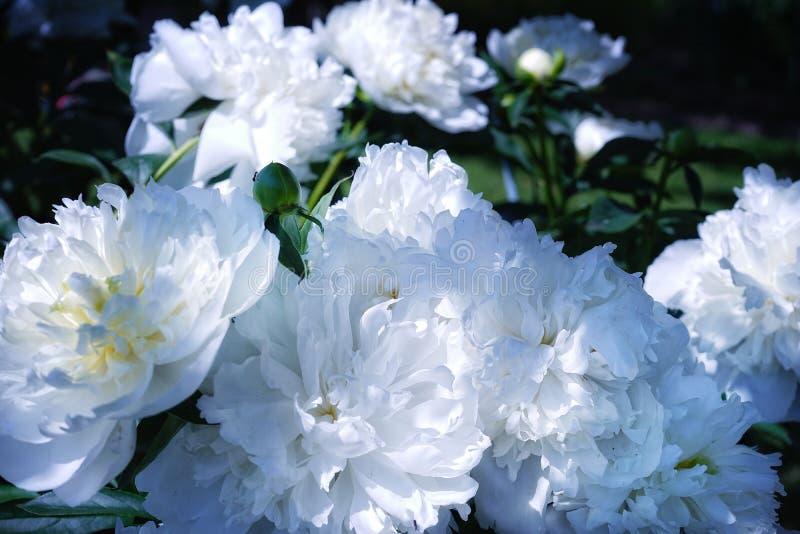biały peoni zakończenia dnia ogród żadny ludzi outdoors lata słońca światła słonecznego cienia natury liścia pięknego piękna no k zdjęcie stock