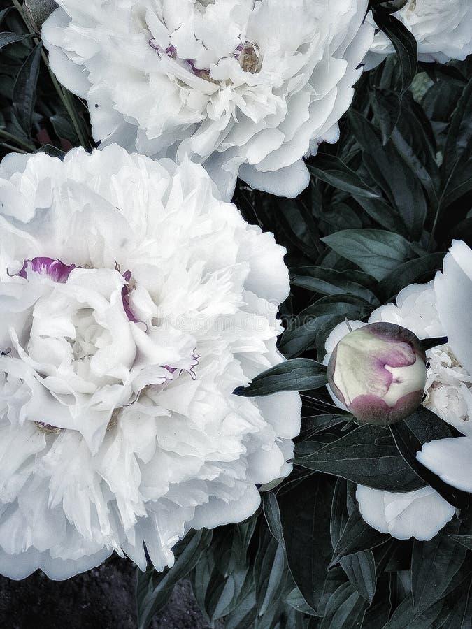 biały peoni zakończenia dnia ogród żadny ludzi outdoors pięknej natura ogródu wioski białego koloru no kwitnie zdjęcia royalty free
