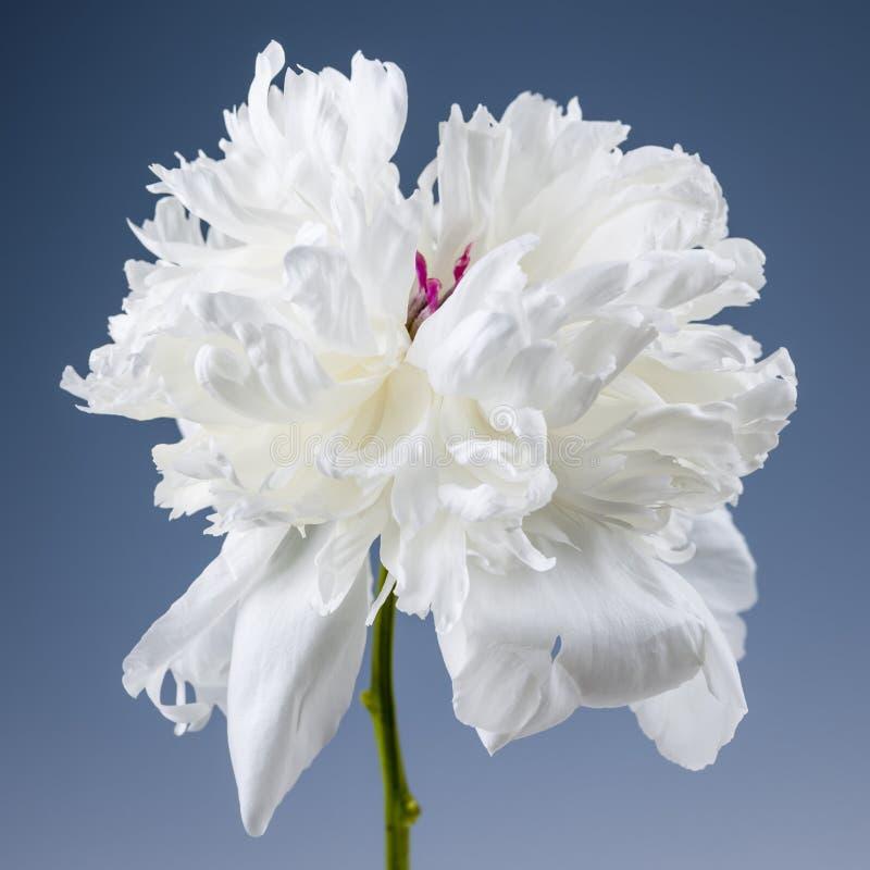 Biały peonia kwiat zdjęcia stock