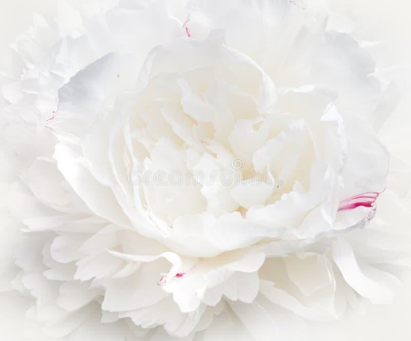 Biały peonia kwiatu zakończenie Tło wizerunek, makro- obrazy royalty free