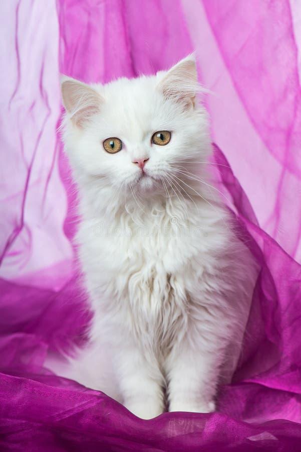 Biały perski figlarki obsiadanie na purpurowej koc zdjęcia royalty free