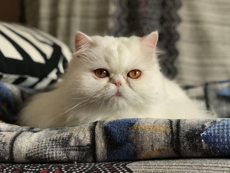 Biały perskiego kota rodowód długie włosy fotografia stock
