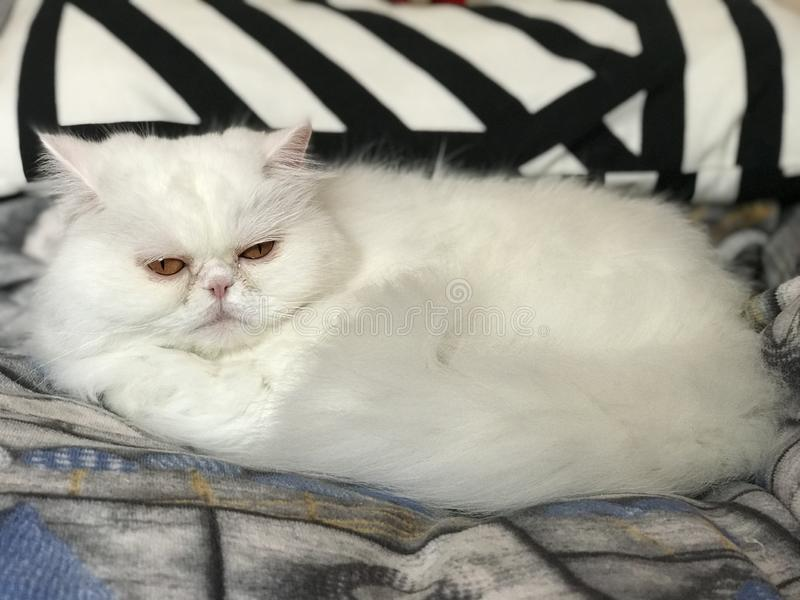 Biały perskiego kota rodowód długie włosy zdjęcia royalty free