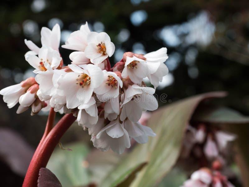 Biały piękny kwiat w ogródzie na niezwykłym tle obraz stock