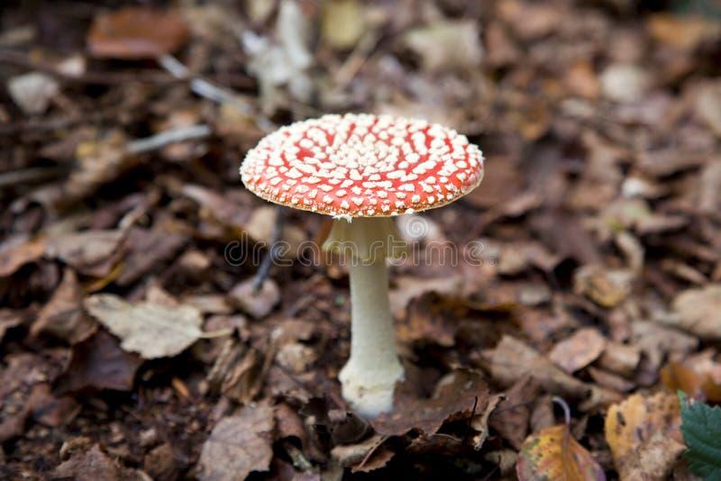 biały pieczarkowi czerwoni punkty fotografia royalty free