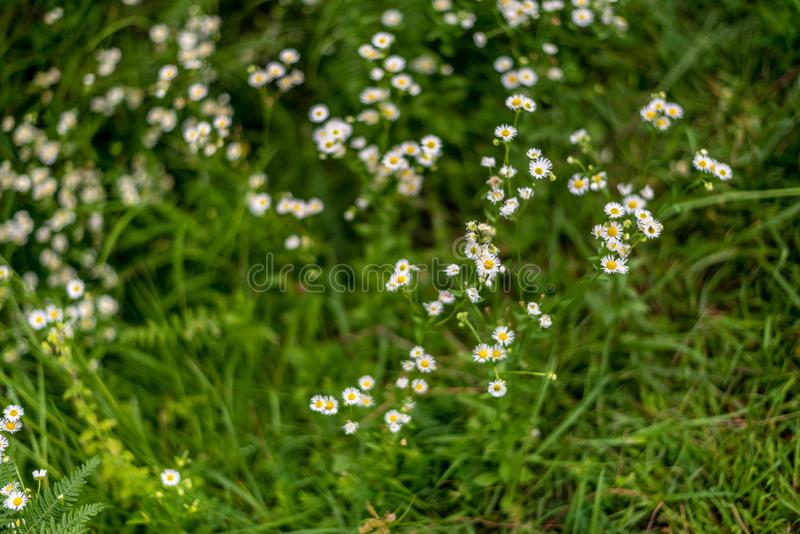 Biały plamy tło i - Mali biali kwiaty w śródpolnym pięknym tle zdjęcia stock