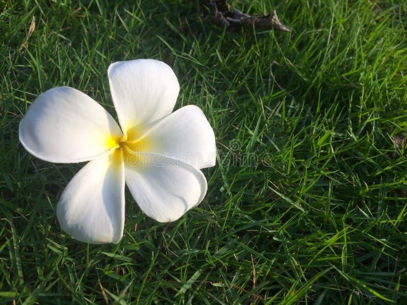 Biały plumeria kwiatów spadek pod drzewem obraz stock