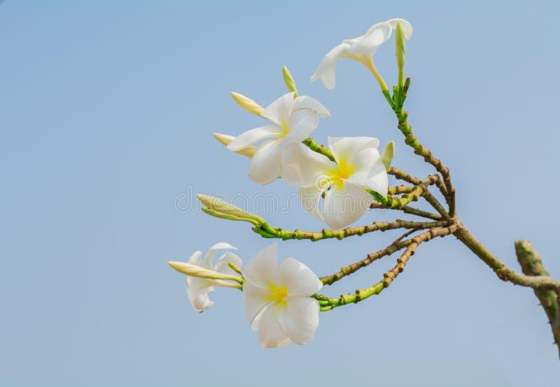 Biały plumeria kwiat zdjęcia stock
