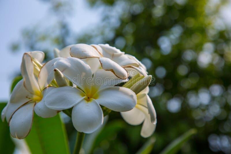 Biały Plumeria kwiat zdjęcia royalty free