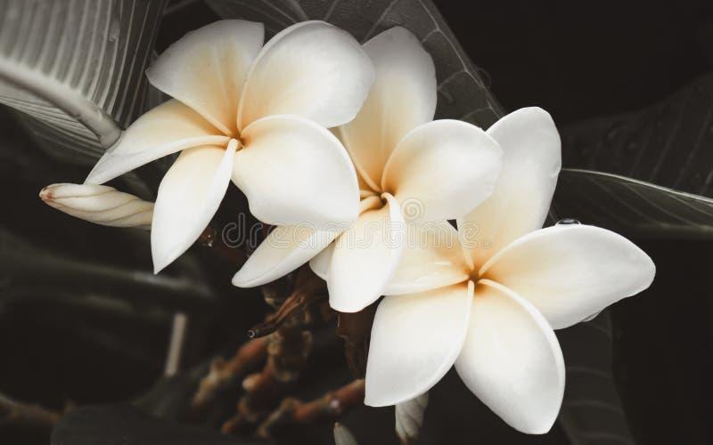 Biały plumeria kwitnie po deszczu - zbliżenie strzał obrazy royalty free