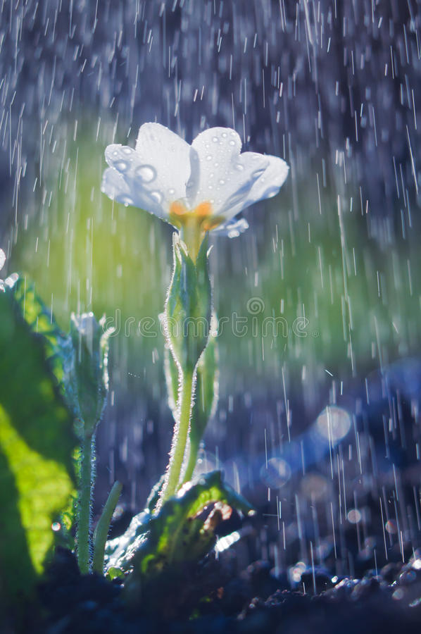 Biały primula kwiat w wiosna deszczu zdjęcie royalty free