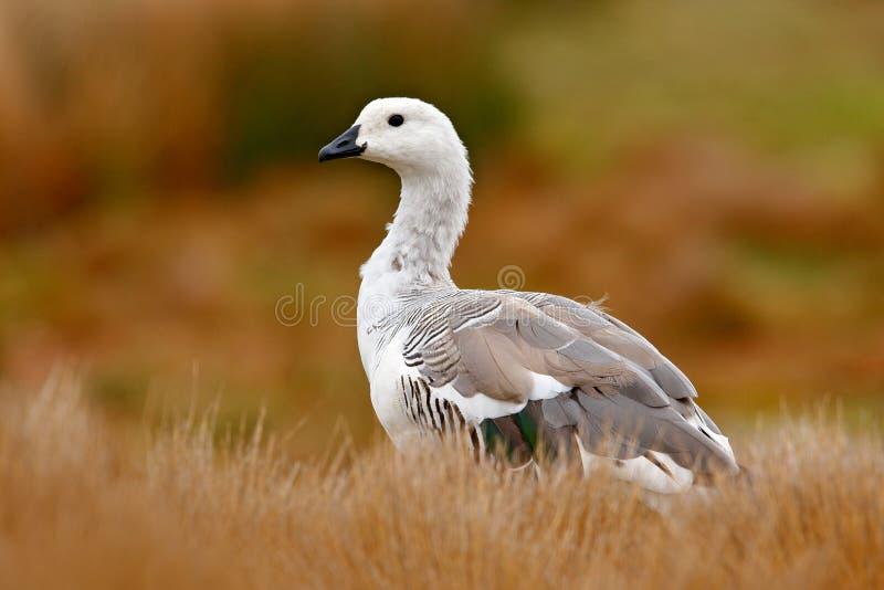 Biały ptak z długą szyją Biała gąska w trawie Biały ptak w zielonej trawie Gąska w trawie Dzika biała Wyżowa gąska, C zdjęcie stock