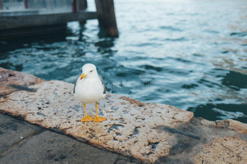 Biały ptasi seagull w Mediolan, Włochy obraz royalty free