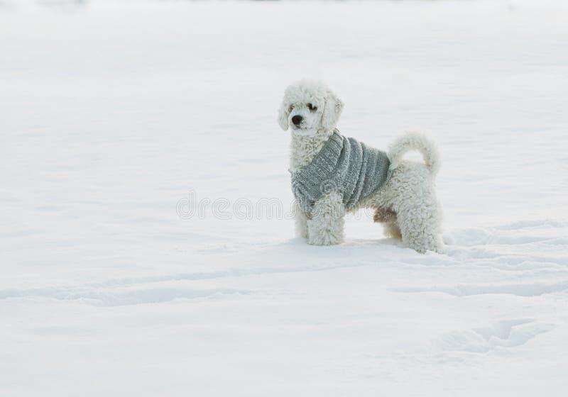 Biały pudel na śniegu fotografia stock