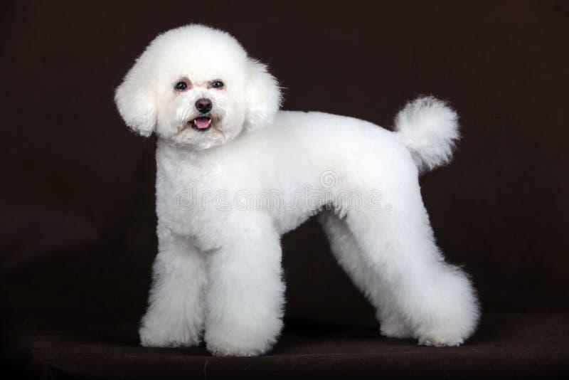 Biały pudla pies zdjęcie stock