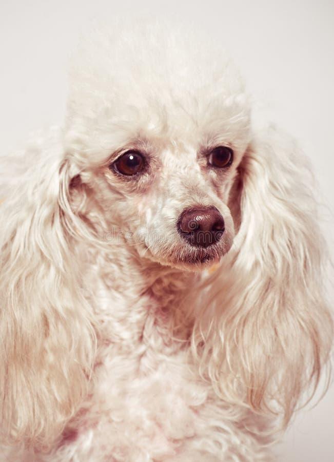 Biały pudla szczeniak zdjęcia royalty free
