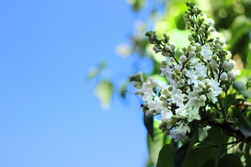Biały purpurowy bez kwitnie w wiośnie w jasnej pogodzie, niebieskie niebo, tło zdjęcia royalty free