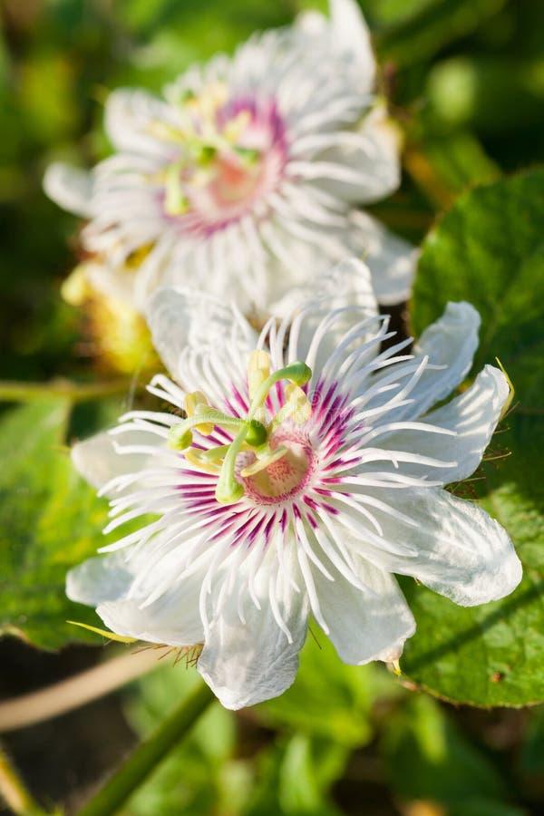 Biały Purpurowy Pasyjny kwiat obrazy royalty free