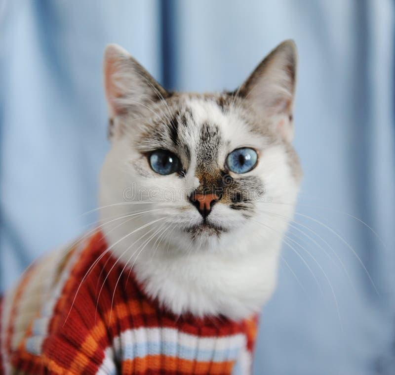 Biały puszysty błękitnooki kot ubierał w pasiastym pomarańczowym pulowerze Zamknięty portret na pojedynczym drelichowym tle mody  zdjęcia royalty free