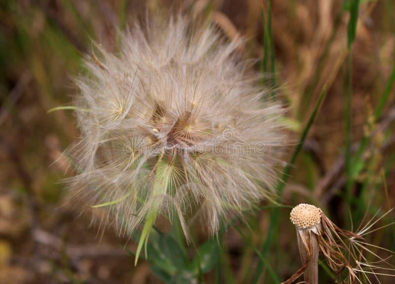 Biały puszysty kwiatu Tragopogon dubius, żółty salsify, dzika oysterplant, koźlia s broda w polu, obraz royalty free