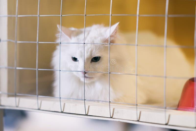 Biały puszysty smutny bezdomny samotny kot, przyglądający od klatki za barami w schroniskowym czekaniu dla someone adoptować on o zdjęcie stock