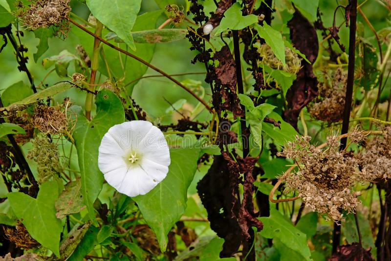 Biały ranek chwały kwiat - Convolvulaceae zdjęcie royalty free