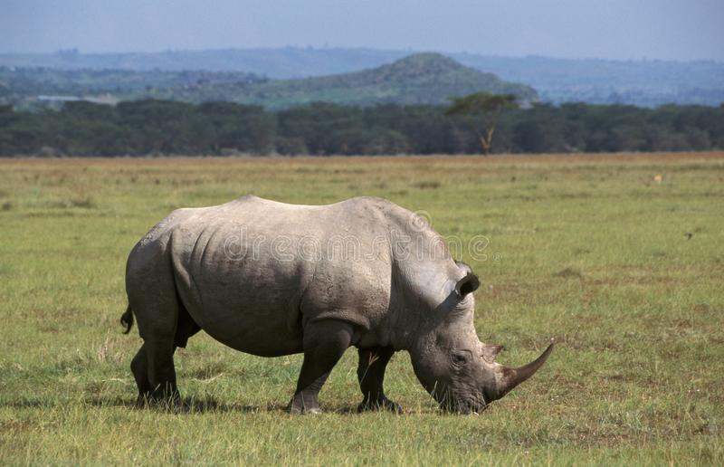 Biały Rhinocerous, Witte neushoorn, Ceratotherium simum fotografia royalty free