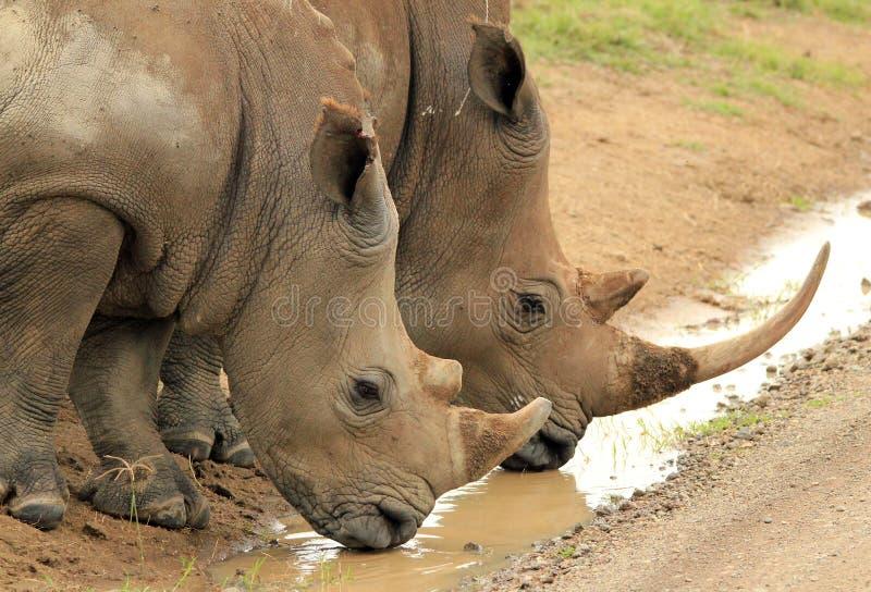 Biały Rhinos Pić obraz stock