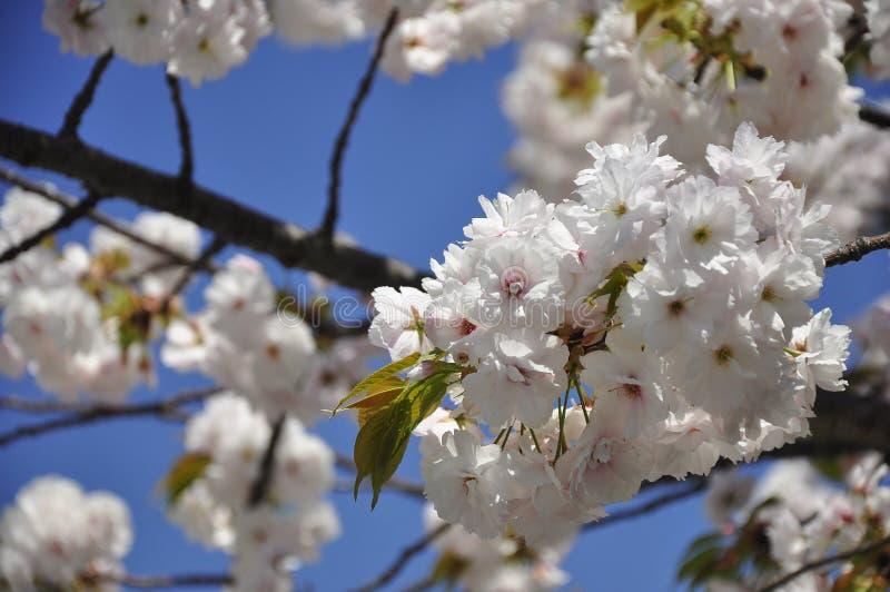 Biały Sakura kwitnie w Osaka, Japonia obrazy stock